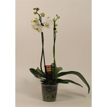 """5"""" Phal Orchid 2 Spike         (Case 10)"""