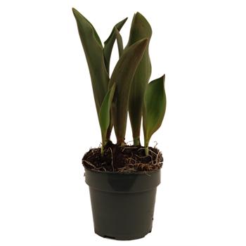 """4"""" Tulips           (Case 18)"""