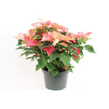 "8"" Poinsettia             (Case 4)"
