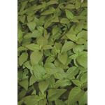 "Additional Images for 4.5"" Herbs Organic Basil Thai      (Case 15)"